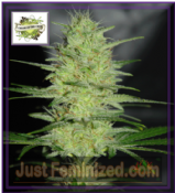 Cream of the Crop Pretty Lights Feminised Cannabis Seeds